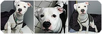 American Bulldog Mix Dog for adoption in Forked River, New Jersey - Remi