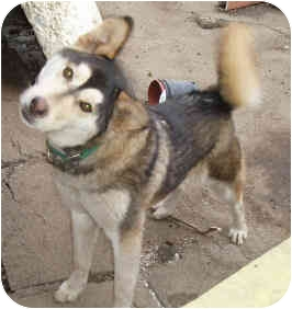 Siberian Husky/Shepherd (Unknown Type) Mix Dog for adoption in Southern California, California - Laika