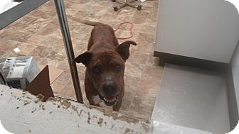 Boxer/Hound (Unknown Type) Mix Dog for adoption in Darlington, South Carolina - Timmy