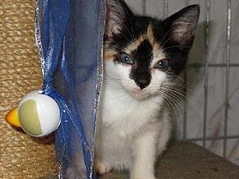 Calico Cat for adoption in Winder, Georgia - Parti