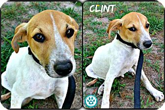 Hound (Unknown Type)/Jack Russell Terrier Mix Puppy for adoption in Kimberton, Pennsylvania - Clint