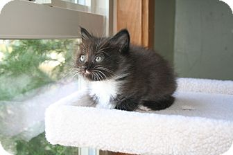 Siamese Kitten for adoption in Quincy, California - Vinnnie Joe