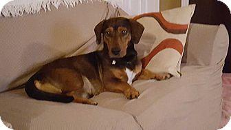 Basset Hound Mix Dog for adoption in Northport, Alabama - Sonny