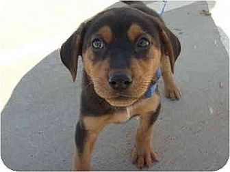 Rottweiler/German Shepherd Dog Mix Puppy for adoption in Sandersville, Georgia - Rojo