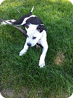 Terrier (Unknown Type, Medium)/Cattle Dog Mix Puppy for adoption in Barnegat, New Jersey - Nathan