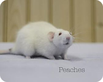 Rat for adoption in West Des Moines, Iowa - Peaches