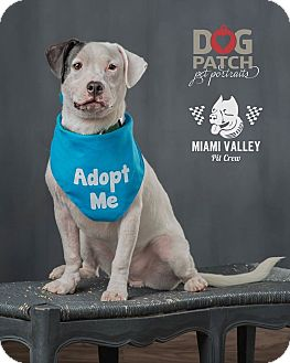 Beagle/Labrador Retriever Mix Dog for adoption in Dayton, Ohio - Jeb