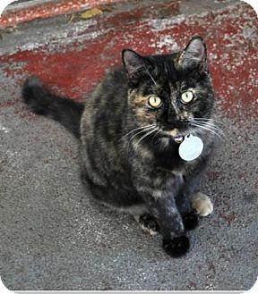Domestic Shorthair Cat for adoption in Waggaman, Louisiana - Zula