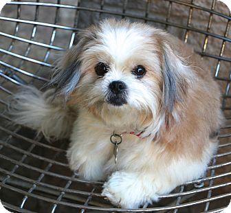 Shih Tzu Mix Dog for adoption in Norwalk, Connecticut - Suki  - pending adoption