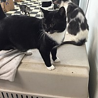 Domestic Shorthair Cat for adoption in Victor, New York - Stash