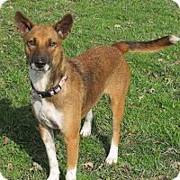 Thai Ridgeback/Terrier (Unknown Type, Medium) Mix Dog for adoption in Sonoma, California - Lily