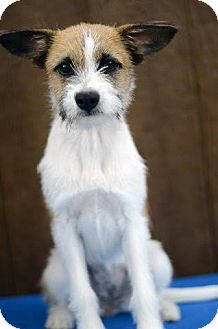 Podengo Portugueso/Cairn Terrier Mix Dog for adoption in Denver, Colorado - Lady