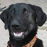 Adopt A Pet :: Stitch - Minneapolis, MN
