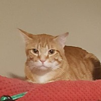 Domestic Shorthair Cat for adoption in Wichita, Kansas - Jakee