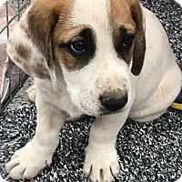 Adopt A Pet :: Dozer - Tucson, AZ
