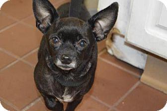 Chihuahua Mix Dog for adoption in Daytona Beach, Florida - Opal