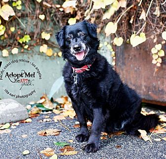 Spaniel (Unknown Type)/Border Collie Mix Dog for adoption in Burbank, California - Little Lucky-VIDEO