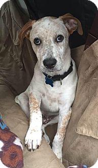 Cattle Dog/Blue Heeler Mix Puppy for adoption in Smithtown, New York - Laffy