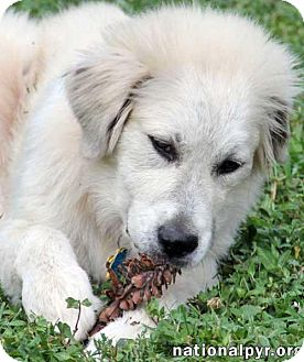 Great Pyrenees Mix Dog for adoption in Beacon, New York - Tera