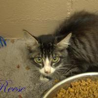 Adopt A Pet :: Reese - Middleburg, FL