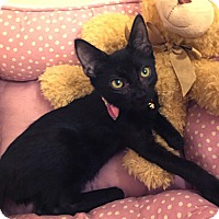 American Shorthair Kitten for adoption in Metairie, Louisiana - Nicholas