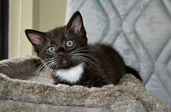 Domestic Shorthair Kitten for adoption in Vancouver, British Columbia - Dugan