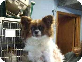 Papillon Dog for adoption in Mason City, Iowa - Tess