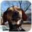 Photo 2 - Beagle/Dachshund Mix Dog for adoption in Arkadelphia, Arkansas - Bear