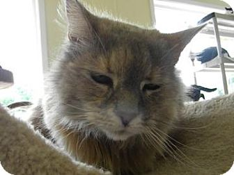 Domestic Longhair Cat for adoption in Gainesville, Florida - Periwinkle