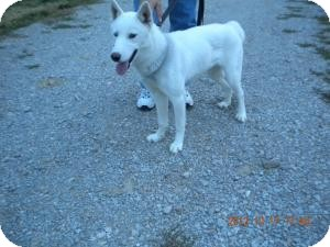 Siberian Husky Dog for adoption in Paris, Illinois - Molly