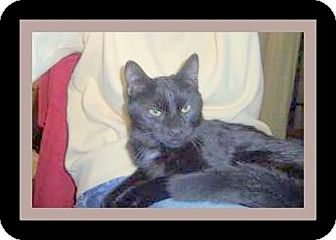 Domestic Shorthair Cat for adoption in Medford, Wisconsin - ELSIE(ADOPTION ONLY $40)