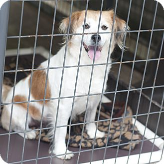 Terrier (Unknown Type, Medium)/Spaniel (Unknown Type) Mix Dog for adoption in New Martinsville, West Virginia - Shania Monkey