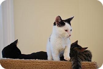 Domestic Shorthair Kitten for adoption in Trevose, Pennsylvania - MOOO