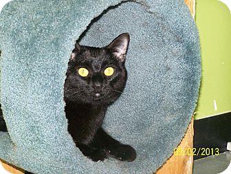 Domestic Shorthair Cat for adoption in Hibbing, Minnesota - Enzo