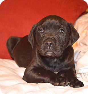 Labrador Retriever/Bulldog Mix Puppy for adoption in PORTLAND, Maine - Henry Wrinkler