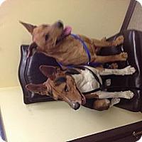 Adopt A Pet :: Basenji - Whittier, CA