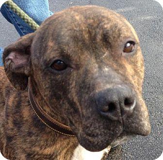 Labrador Retriever/Staffordshire Bull Terrier Mix Dog for adoption in Walden, New York - Nancy