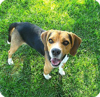 Beagle Dog for adoption in El Cajon, California - Benny
