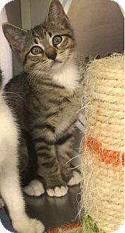 Domestic Shorthair Kitten for adoption in Mansfield, Texas - Marti