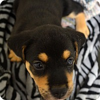 Adopt A Pet :: Lucy - Burleson, TX