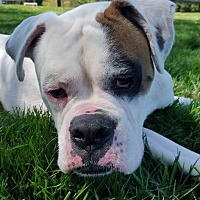 Boxer Dog for adoption in Westminster, Maryland - ZZ