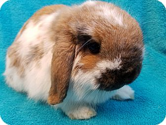 Lop, Holland for adoption in Los Angeles, California - Rocky Road
