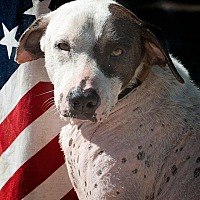 Dalmatian Mix Dog for adoption in Houston, Texas - Nataly