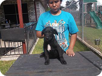 Labrador Retriever Mix Puppy for adoption in San Antonio, Texas - Hank