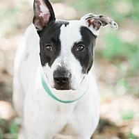 Shepherd (Unknown Type)/Labrador Retriever Mix Dog for adoption in Tampa, Florida - Enzo