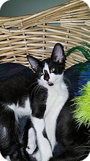 Domestic Shorthair Kitten for adoption in Tampa, Florida - Logan