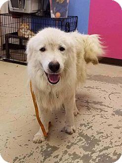 Great Pyrenees Mix Dog for adoption in Smithtown, New York - Matt