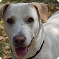 Labrador Retriever Mix Dog for adoption in thibodaux, Louisiana - Cece
