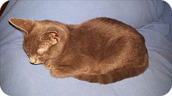 Domestic Shorthair Cat for adoption in Smithfield, North Carolina - Saber SPECIAL ADOPTION FEE