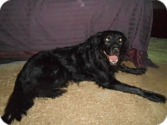 Labrador Retriever/Flat-Coated Retriever Mix Dog for adoption in North Jackson, Ohio - Bear